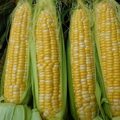 20170627_corn2